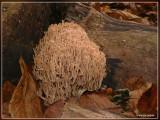 Kroontjesknotszwam - Artomyces pyxidatus