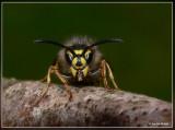 Bijen, hommels ,wespen en sluipwespen