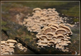 Scherpe schelpzwam - Panellus stipticus