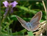 icarusblauwtje (vrouwtje).