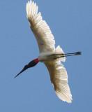 Brazil Pantanal Birding (Pousada Xaraes) 2010