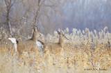 Deer1426b.jpg