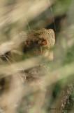Mongoose4216b.jpg