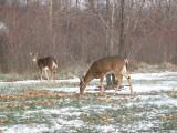 Deer2827b.jpg