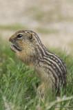 GroundSquirrel5283b.jpg
