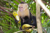 White-Faced Capuchin Monkey Studying a Banana