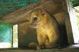 Kinkajou - The Osa Wildlife Sanctuary near Golfito