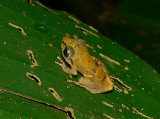 Rain Frog - Pristimantis ridens