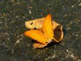 Orange Daggerwing - Marpesia berania fruhstorferi