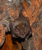 Leaf-nosed Bat - Carollia sp.