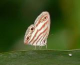 Butterfly - Euptychia sp.