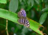 Whitened Bluewing - Myscelia cyaniris cyaniris