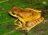 Masked Treefrog - Smilisca phaeota