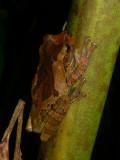 Mexican Treefrog - Smilisca baudinii