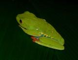 Red-eyed Leaf Frog - Agalychnis callidryas