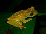Scarlet-webbed Treefrog - Hypsiboas rufitelus