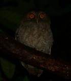 Vermiculated Screech Owl - Megascops vermiculatus