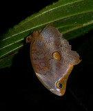 Xanthicles Owl Butterfly - Catoblepia x. xanthicles?