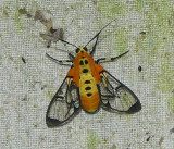 Moth - Hyda basilutea