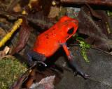 Strawberry Poison Dart Frog - Oophaga pumilio
