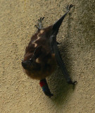 Greater White-lined Bat - Saccopteryx bilineata