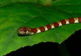 Ringed Slugeater - Sibon annulatus