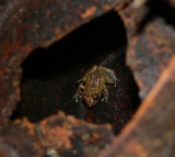 Dink Frog - Disaporus diastema