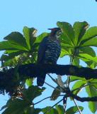 Ornate Hawk Eagle - Spizaetus ornatus