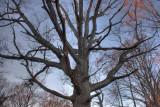 Up the Big Oak *.jpg