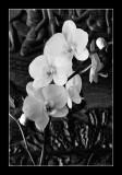 Orchidée verte ! (EPO_7610)
