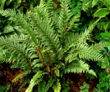Shiny Holly Fern