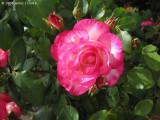 Hannah's Rose