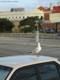 Seagull on my Roof