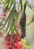 Mrs Gould's Sunbird (female)