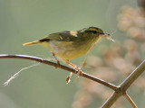White-tailed Leaf Warbler
