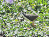 White-breasted Moorhen