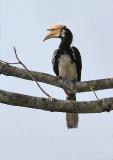 Oriental Pied Hornbill