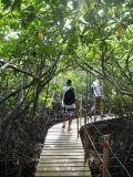 Mangrove Jungle
