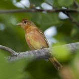 Summer Tanager,