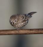 One-legged Female House Finch