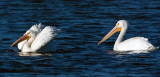 White Pelicans at Lake Dardanelle