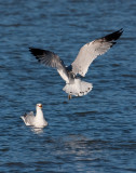 Ring-billed Gulls at Lake Dardanelle