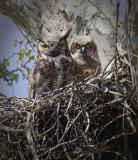 Great Horned Owl Nest - Gentry, AR