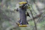 American Goldfinches at my feeder.