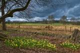 Fence and daffodils, Mottisfont
