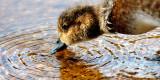 Duck on Loch Garten