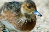 Duckling, Loch Garten