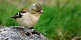 Female chaffinch, Glen Affric