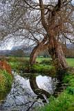 Reflected tree, Martock