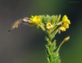 _NW87975 Hummingbird.jpg